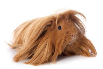 Peruvian long-haired guinea pig